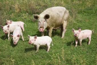 CHINA: Competition in pork hits Zhongpin profits