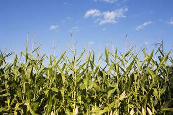 Hot weather in the US has weighed on corn yields