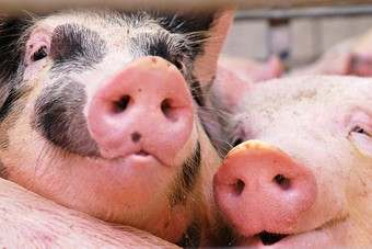 Pork prices driven up by higher input costs