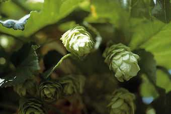 Hops are undergoing a revival
