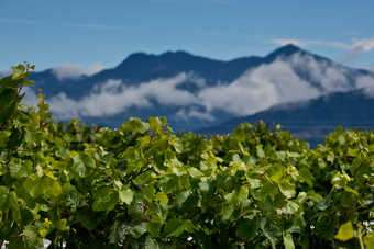 Focus - New Zealand strives to drain wine surplus