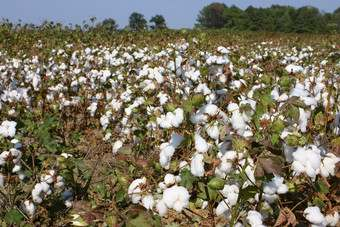 Cotton prices are likely to fall as production expands