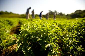 Comment - Has Stevia Hit the Sweet Spot?