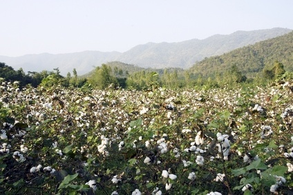 World cotton production is set to fall some 400,000 tons in 2014/15