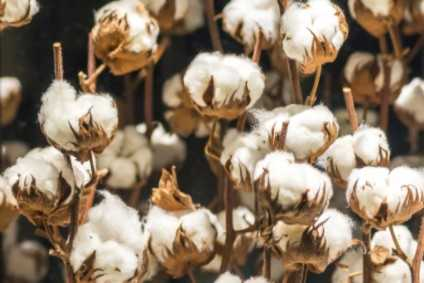 Campaigners set out reforms for Uzbekistan cotton sector