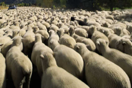 Despite strong demand, wool production globally is decreasing