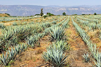 Jose Cuervo is working with Ford Motor Co to develop bioplastics from agaves remnant fibres