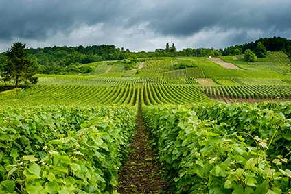 The CIVC wants grape growers in Champagne to use no herbicides on their vines by 2025