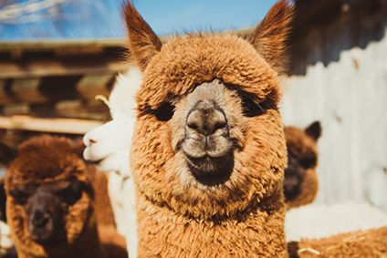 Peru apparel makers bet on alpaca for export growth