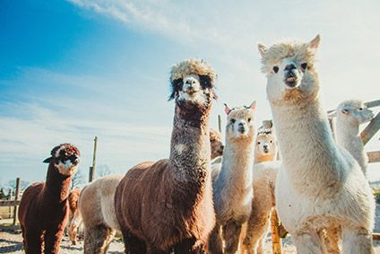 """Marks & Spencers decision will prevent many alpacas from being tormented for their wool,"" says PETA"