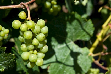 NZ grape harvest up 29% in 2014