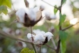 Tackling the challenges of sourcing cotton sustainably