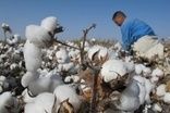 SOURCING: Organic cotton faces potential supply shortage
