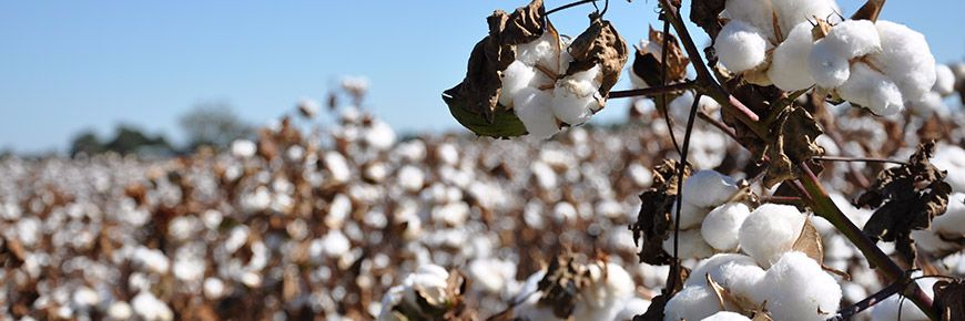 A trade war between the US and China could begin with cotton